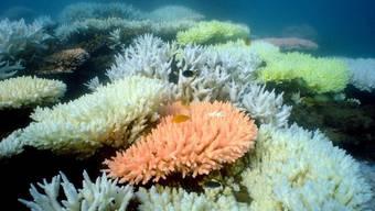 Korallen gibt es in praktisch allen Farben. Einige von ihnen wandeln das schwache blaue Licht in den Tiefen des Meeren in Orange in, damit sie es für die Energiegewinnung nutzen können. (Archiv)