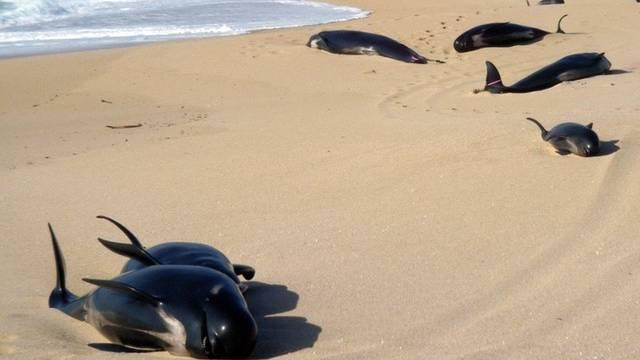 Im September waren in Neuseeland über 20 Wale gestrandet (Archiv)