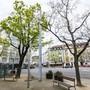 Spitzahorn Tellplatz