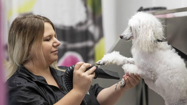 «Pfötchen geben»: Die Dietiker Hundecoiffeuse Joy Stadtmann föhnt ihrer Hundedame Jersey das Fell.