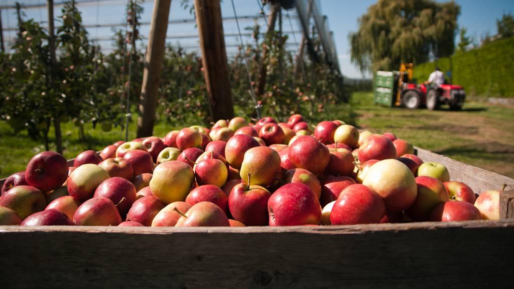 Foodwaste bei Apfel-Bauern – «Der Markt soll spielen»