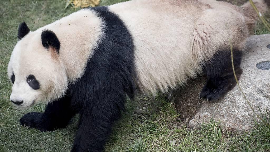 Panda im Kopenhagener Zoo ausgebüxt