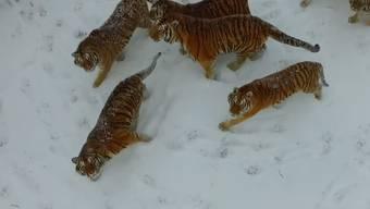 Der qualvolle Tod einer Drohne: Sibirische Tiger erlegen elektronische Beute.