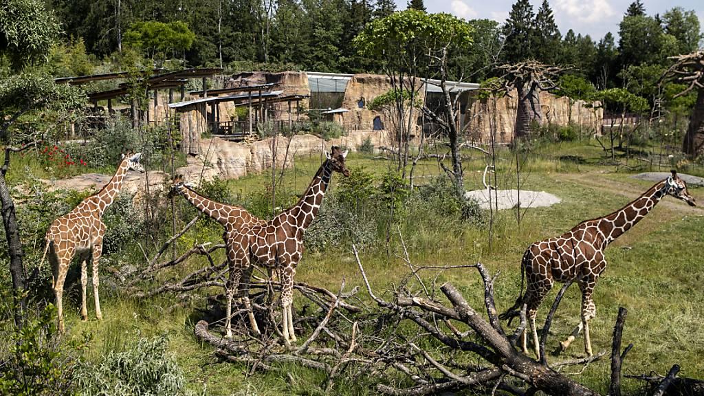 Neue Savannen-Anlage: Der Zürcher Zoo lädt zur Safari