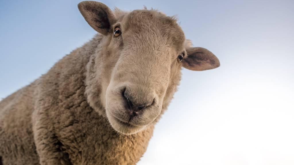 Planet der Schafe