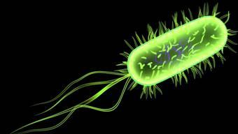 Escheria-coli-Baktieren
