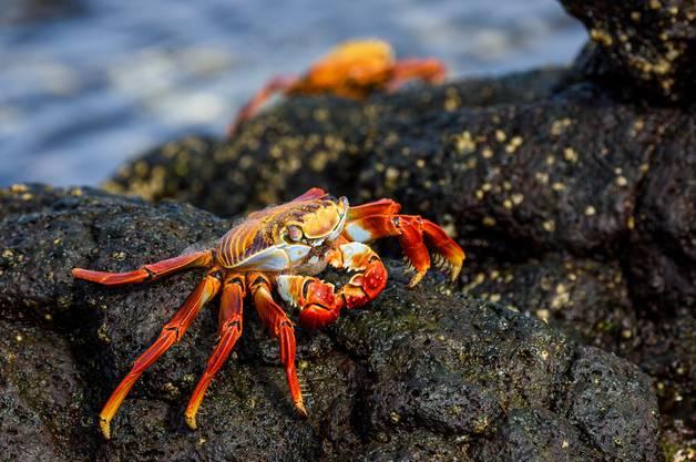 Der englische Name der Klippenkrabben ist «Sally Lightfoot crab». Sie sind, so sagt es die Legende, nach einer karibischen Tänzerin benannt.