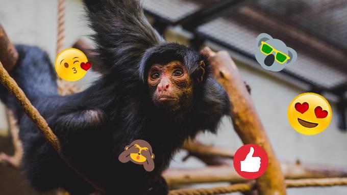 Kampf gegen Wilderer: Forscher entwickeln Gesichtserkennungs-App für Affen