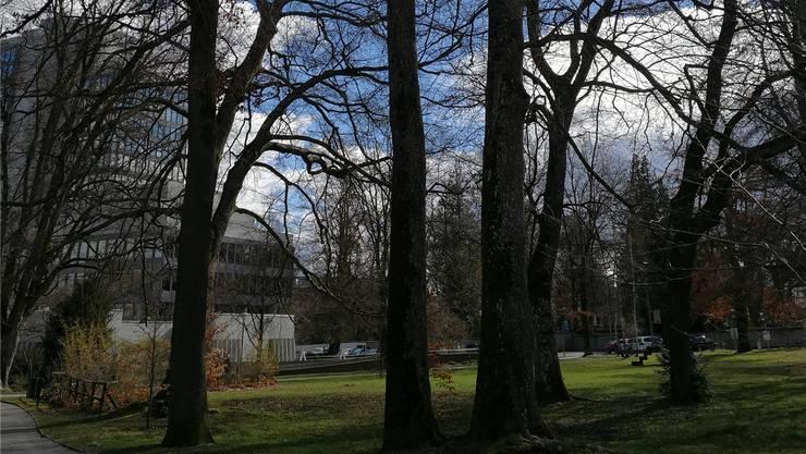 Der Baum im Rathauspark ist von einem Pilz befallen und muss gefällt werden. (Ganzes Bild weiter unten)