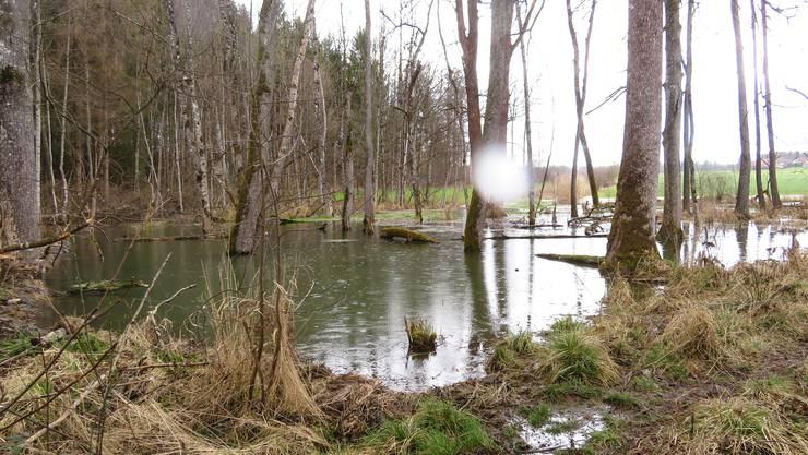 Im Schnapshölzli (Halten-Hersiwil) hat der Biber so viel Wasser aufgestaut, dass aus dem Tümpel vom letzten Jahr ein Teich wurde.