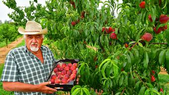 Nicht in San José, Marbella oder Almeria in Spanien - nein: Mitten zwischen Häusern, Wiesen und dem Dorfkern in Gunzgen wachsen auf freiem Feld die Pfirsiche von Heinrich «Heiri» Hummel.