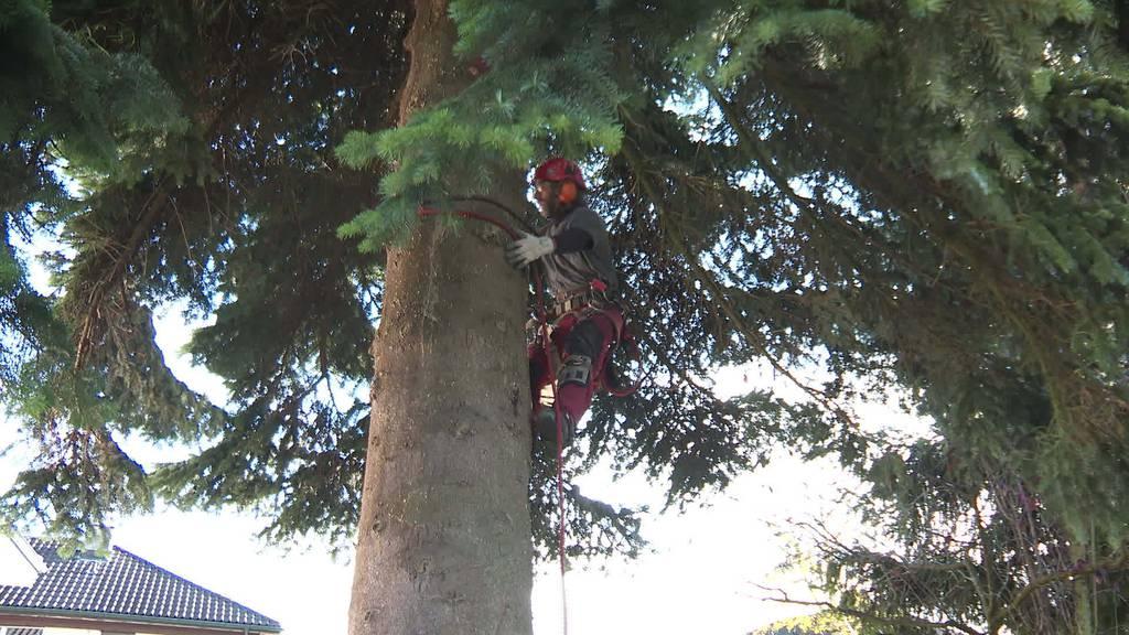 Sondertransport: 16 Meter-Weihnachtsbaum steht in Romanshorn