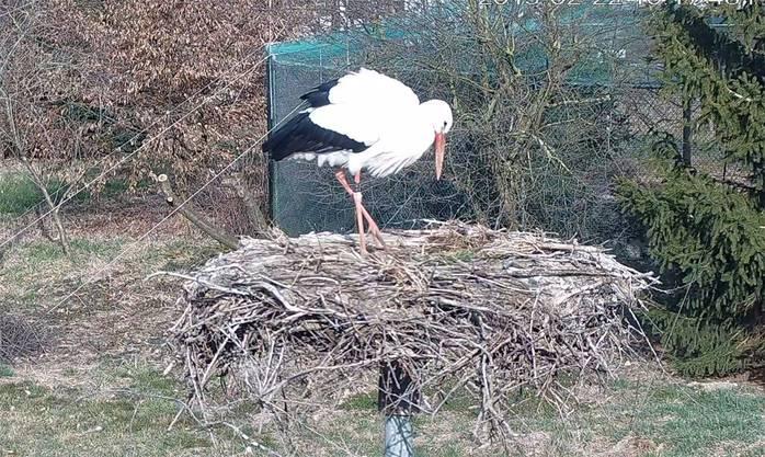Ein Storch ist auf den Horst der Möhliner Storchenstation zurückgekehrt und präsentiert sich vor der Webcam. screenshot