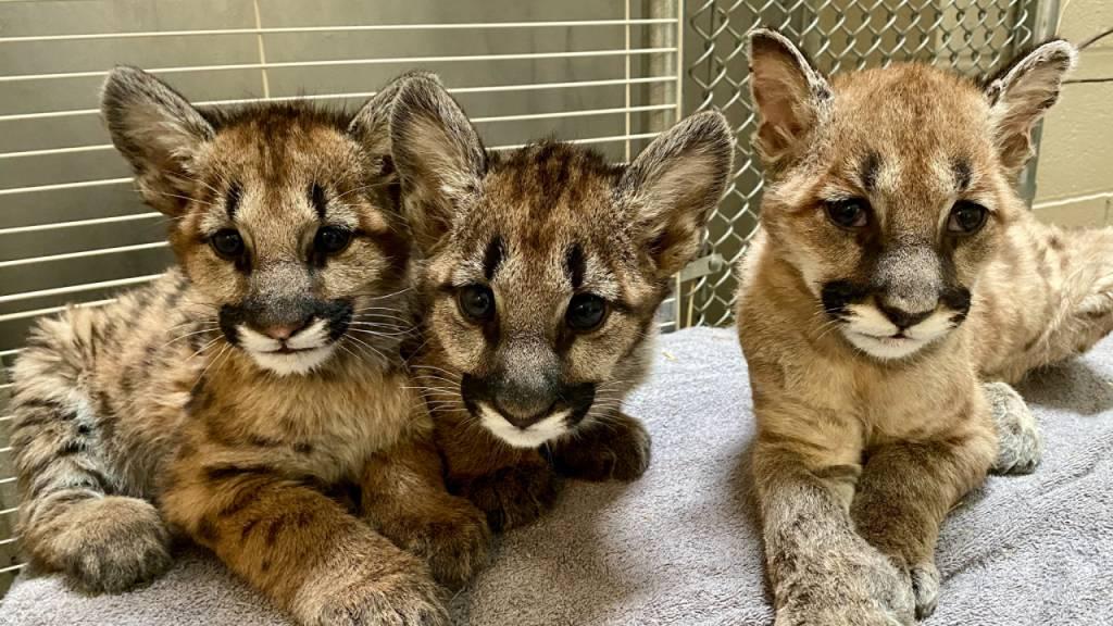 Neues Zuhause für Puma-Baby «Captain Cal» nach Feuern in Kalifornien