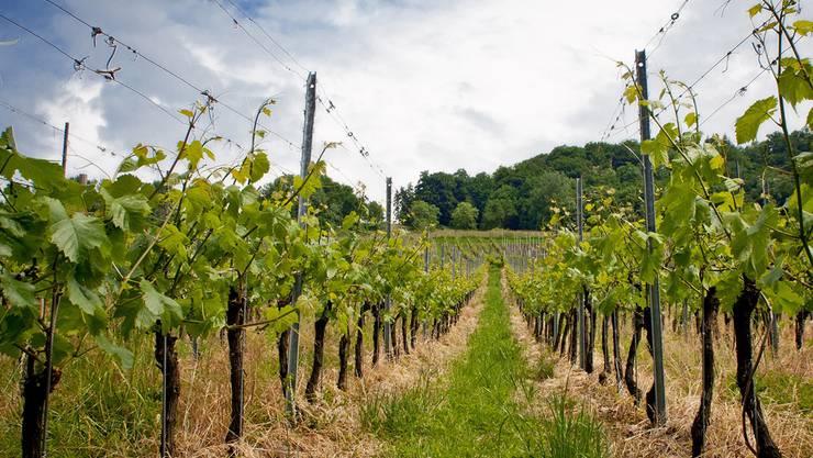 In Aargauer Rebbergen kam es wegen des Einsatzes eines Pflanzenschutzmittels zu Missbildungen. Das Bild zeigt Reben in Klingnau. (Symbolbild)