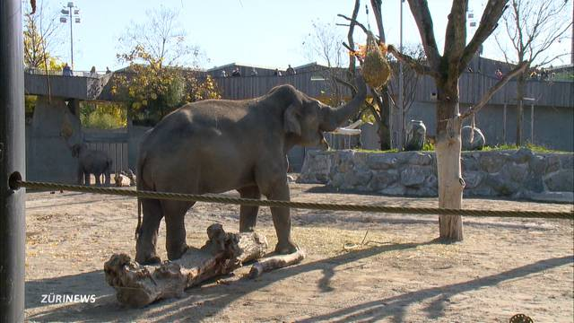 Elefanten-Bulle hat  von Sex keine Ahnung