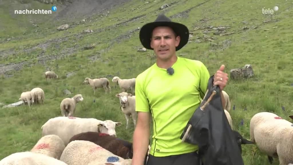 Schafbauern in Uri starten Abstimmungskampf zum Jagdgesetz