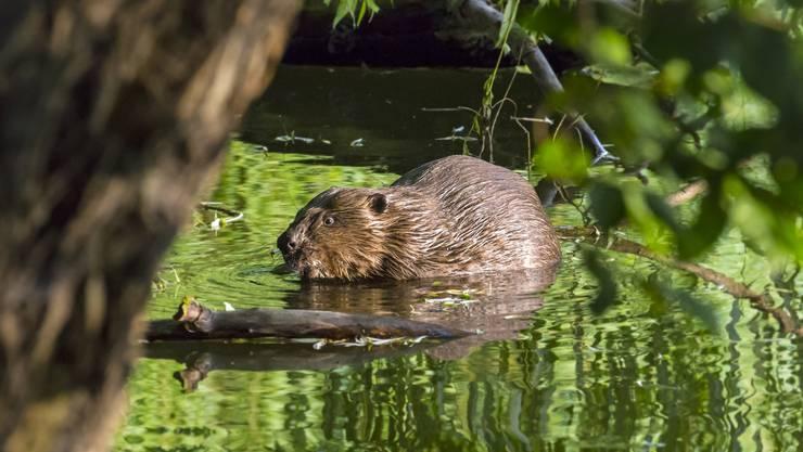Die Biberpopulation wird im Aargau auf 350 Tiere geschätzt. Sie haben sich an allen vier grossen Flüssen niedergelassen.