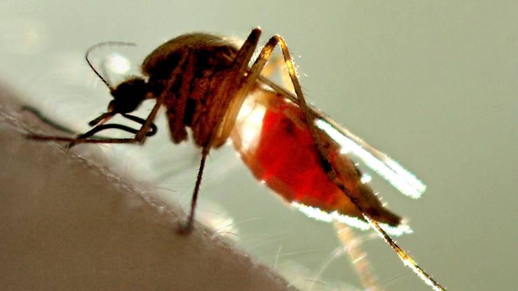 Ob das Opfer ein Mann oder eine Frau ist, spielt Mücken keine Rolle: Entscheidend ist nur der Körpergeruch. Keystone