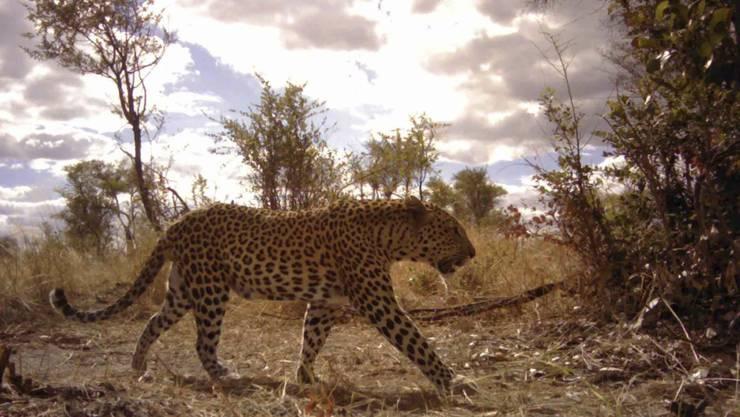 Ein Leopard hat in Nepal ein Kind zu Tode gebissen. (Symbolbild)