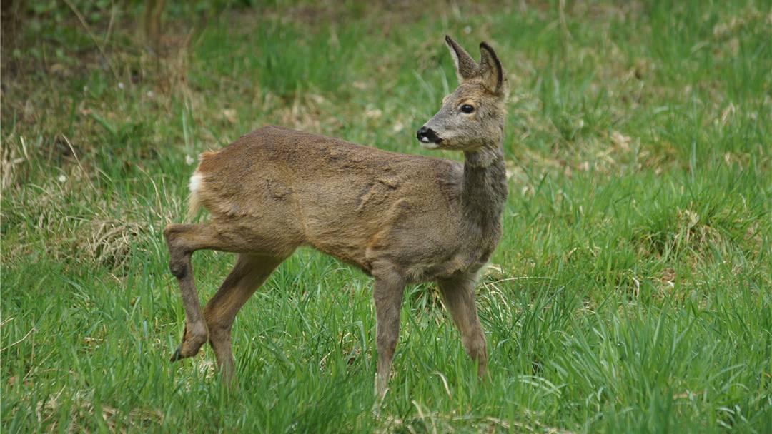 Einfach nur herzig: Die Video-Bilder, die Fredi Schären vom Turgememer Bambi im Laufe des vergangenen Winters einfangen konnte.