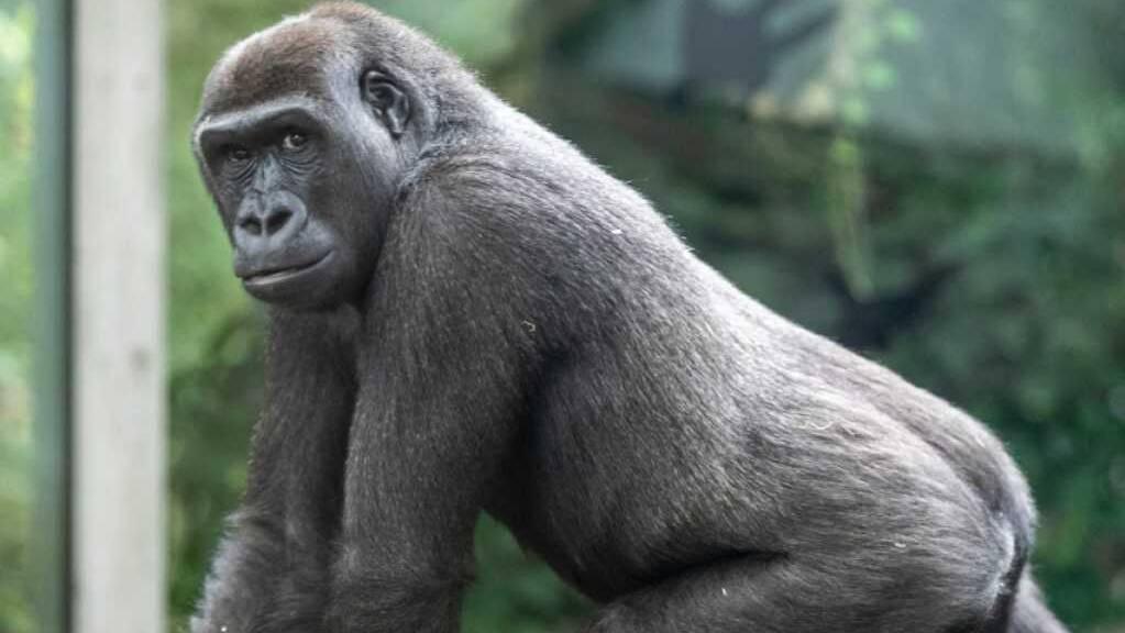 Der Zürcher Zoo musste eines seiner Gorilla-Weibchen einschläfern. Woran sie erkrankte, ist noch unklar.