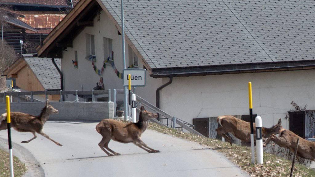 Kollisionen mit Tieren sind auf Schweizer Strassen keine Seltenheit. In Situationen wie dieser auf der Dorfstrasse in Lüen im bündnerischen Schanfigg heisst es: sofort bremsen. (Archiv)