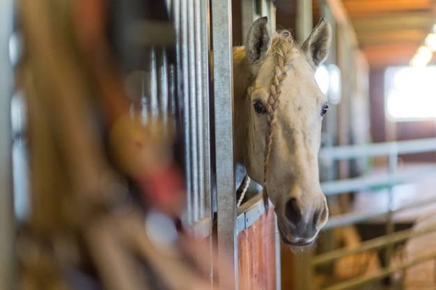 Nach dem Training dürfen die Pferde zurück in ihre Boxen