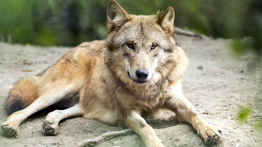 Der Schutz der Wölfe soll auf Verordnungsstufe gelockert werden. Der Bundesrat setzt mit den vorgeschlagenen Änderungen zwei Vorstösse des Parlaments um. (Archivbild)