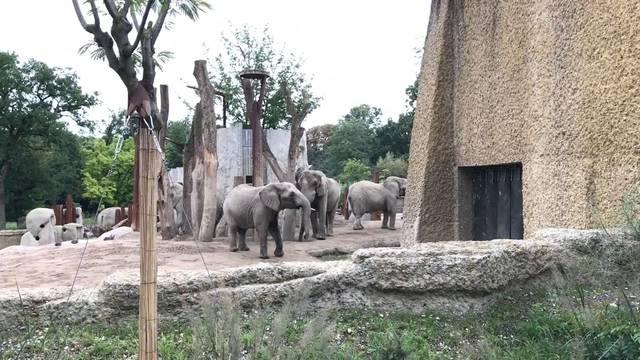 Zoo Basel: So buhlt Elefantenbulle Jack um die Weibchen