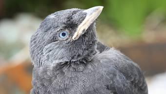 Dohlen sind intelligente und gesellige Vögel.Archiv/Gabi Steigmeyer
