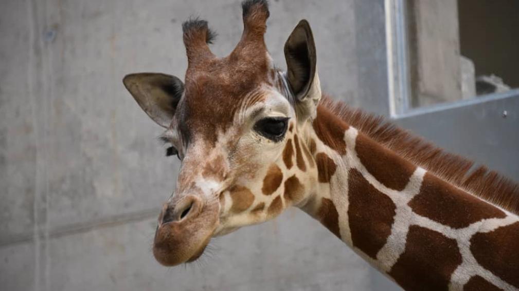 Drei Giraffen neu im Zoo Zürich
