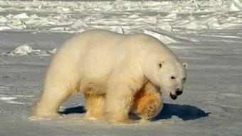 Eisbären sind die grössten Landraubtiere (Symbolbild)