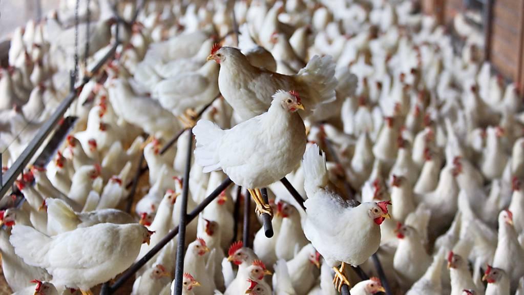 In der Hühnerzucht werden heute lebende Küken geschreddert, weil sie das falsche Geschlecht haben. Das hat das Parlament nun verboten. (Archivbild)