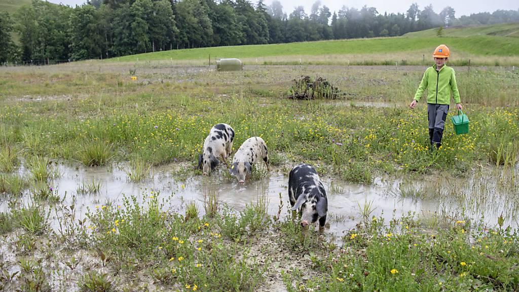 Schwimmende Säuli als Landschaftspfleger im Einsatz