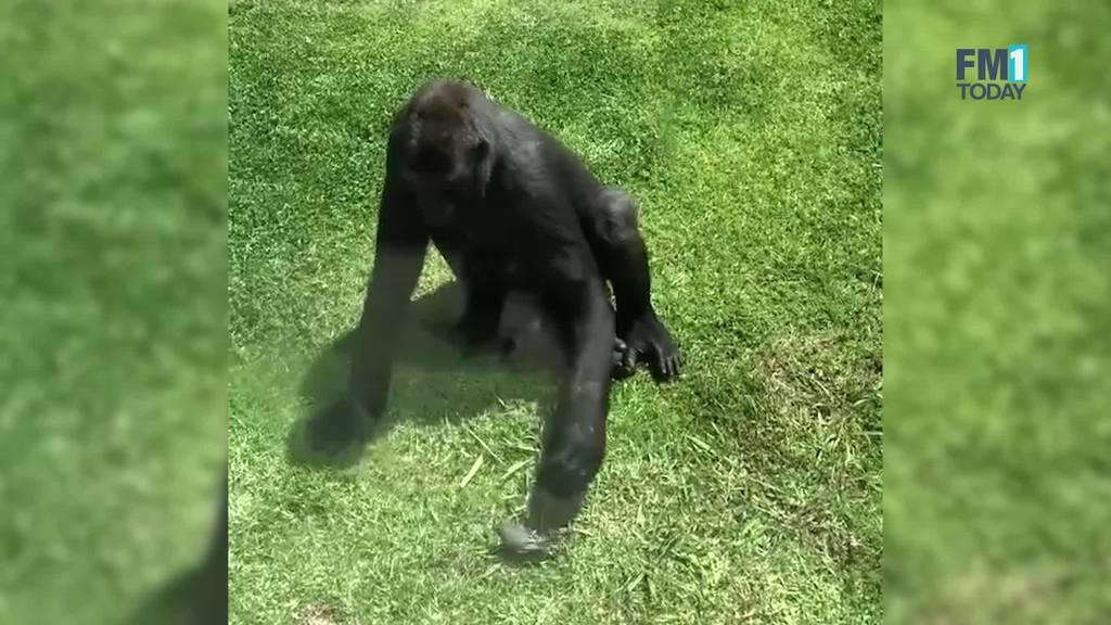 Hier versucht ein Gorilla einen verletzten Vogel zu retten