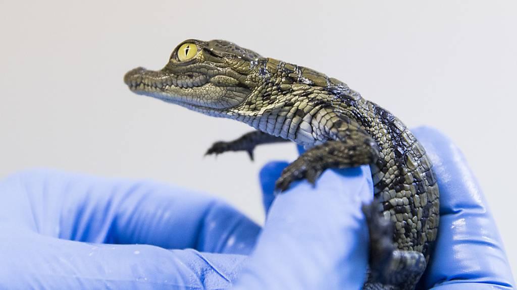 Das erste Krokodil-Baby ist geschlüpft.