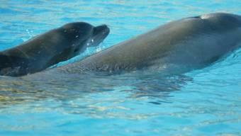 Wenige Stunden nach seiner Geburt am Mittwoch, 24. September 2003, schwimmt das Delphinbaby zusammen mit seiner Mutter Chispa, rechts, im Becken des Bodensee Familienparks Connyland in Lipperswil TG. Das Geschlecht des kleinen Delphins steht noch nicht fest, der Nachwuchs hat deshalb auch noch keinen Namen.  (KEYSTONE/Mario Gaccioli)