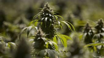 Bauern sollen künftig Cannabis zu medizinischen Zwecken anbauen und exportieren dürfen. Das will der Bundesrat.