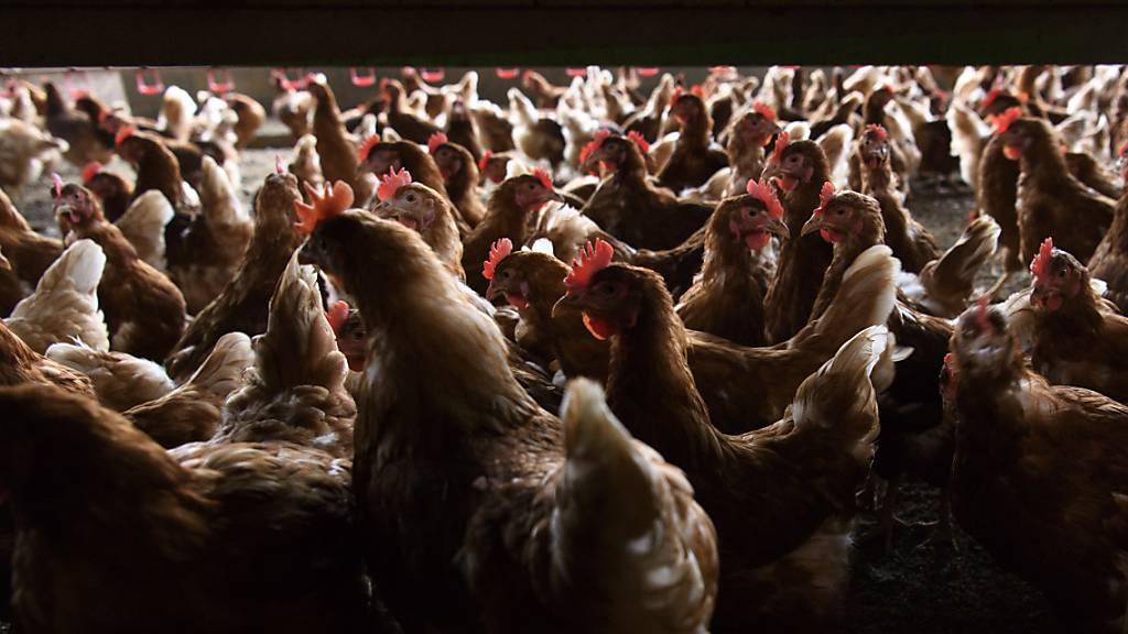 Hunderte Hennen getötet: Vogelgrippe in Frankreich und Dänemark entdeckt