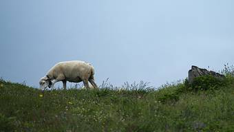Wolf greift Schafherde an: Im St. Galler Murgtal hat ein Wolf neun Schafe einer Herde gerissen.