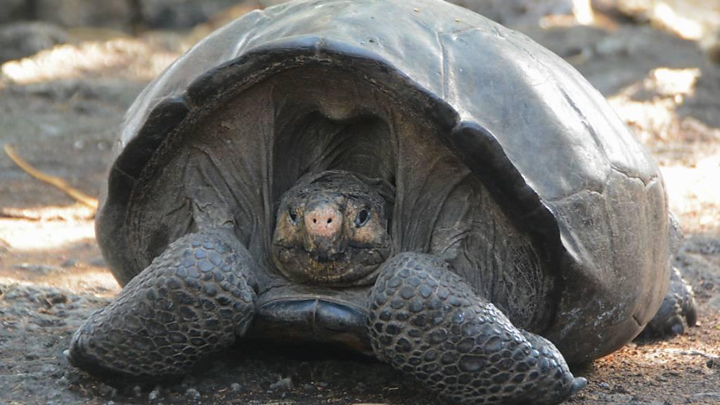 Busfahrer fährt Riesenschildkröte an und zahlt hohe Strafe