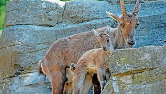 Bei den Alpensteinböcken sind mehrere Jungtiere auf die Welt gekommen Sie sind tritt- und sprungsicher wie die Mama.