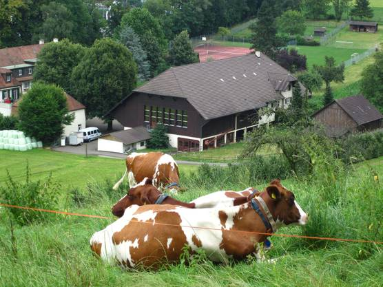Am Sonntag hatten schon wieder die Kühe beim Grasen ihrn Spass.