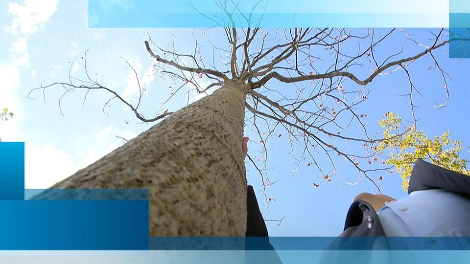 Sechseläutenplatz-Bäume