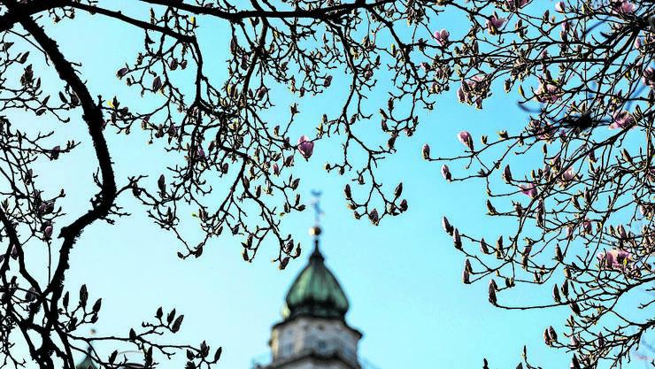 Die frühen Blüten wurden durch Frostnächte bedroht.