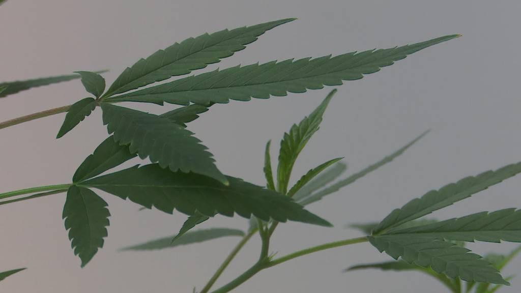 Lebensgefahr: Synthetisch behandeltes Cannabis im Umlauf