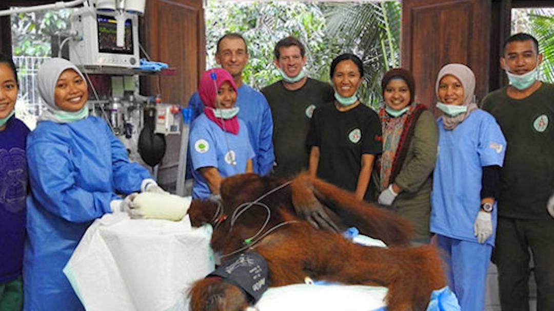 Orang-Utan nach OP wohlauf