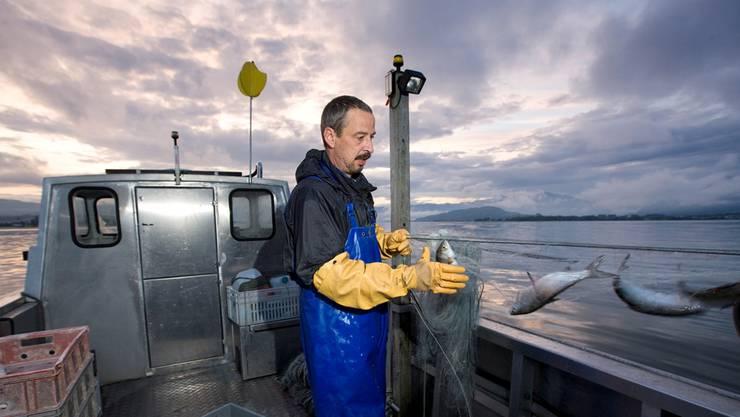 Zürichsee: Hier geht es den Fischern etwas besser als den Berufskollegen vom Walensee, Vierwaldstättersee oder Bodensee. KEY