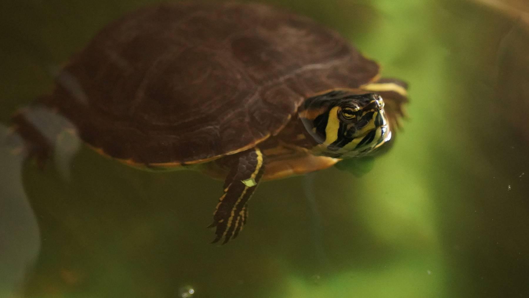Gelbwangenschmuckschildkröten